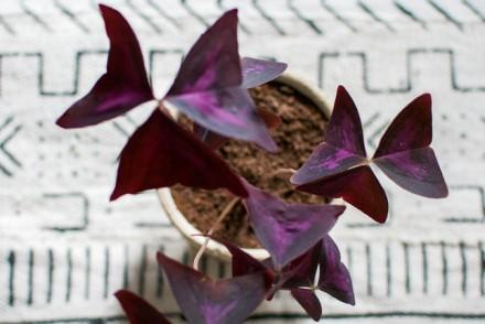 Urban Jungle Bloggers, plants, plant styling, houseplants, green styling, indoor plants, Oxalis, boho, bohemian styling